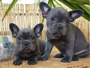 Französische Bulldoggen Welpen in Lilac