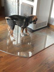 Jack Russel Terrier Mischling