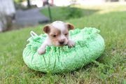 Süsser Yorkshire Terrier Golddust Rüde