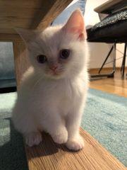 Britisches Kurzhaar Kitten