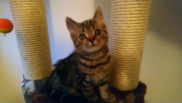 Reinrassiges Scottish Straight Kitten mit