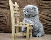 Ich suche Kätzchen british oder