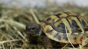 Verkaufe griechische Landschildkröten aus 2019