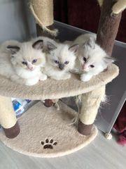 Schöne persische Kätzchen zur Adoption