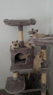 BKH-Kitten ABGABEBEREIT