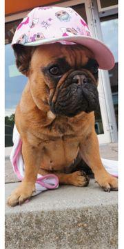 Französische Bulldogge mit Papieren