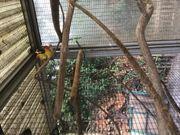 Vögel abzugeben Sperlingspapageien Schwarzköpfchen Unzertrennliche