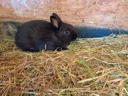 Zwergkaninchen Farbenzwerg Kaninchen 10 Wochen