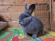 Blaue Wiener Kaninchen Hasen