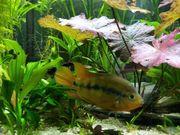 Regenbogencichlide Regenbogenbuntbarsch Herotilapia multispinosa