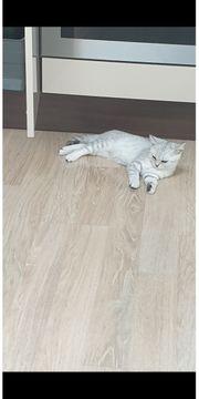 2 BKH Kitten 4 Monate