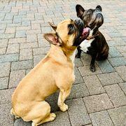 Ankündigung Reinrassige Französische Bulldoggen Welpen