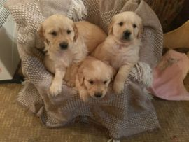 Golden retriever welpen 015215767991 WhatsApp nummer didk