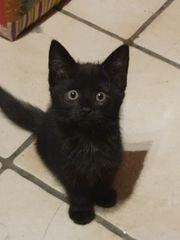 maincoone Bkh kitten
