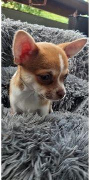 1 zuckersüßes Chihuahua Mädchen