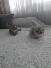 bkh scottish Kätzchen