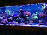 Meerwasser Korallen Sps Lps Ableger