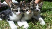3 kleine süße Babykatzen Katzenbabys