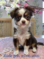 reinrassige Chihuahua Welpen mit Ahnentafel