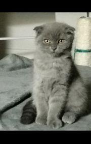 Bkh Kitten blue fold Mädchen