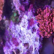 Entacmaea Quadricolor Kupferanemone