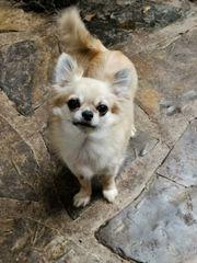 Chihuahuahündin kastriert