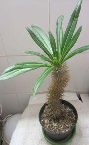 Zimmerpflanzen - Sukkulenten - Aloe Vera Bleistiftbaum