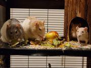 Ratten in Gute Hände abzugeben