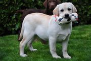 Freundliche Labrador Welpen