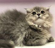 BLH - Scottisch Fold Kitten