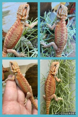 Reptilien, Terraristik - Bartagame Pogona Vitticeps 50 het
