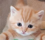 Kitten Weibchen rot