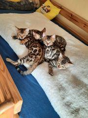 Bengal Kitten Zucht mit Herz