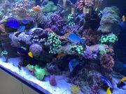 Verkaufe oder tausche Meerwasser Korallen