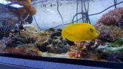 Meerwasser Acanthurus pyroferus Schokoladen-Doktorfisch