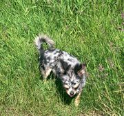 Merle Mini Chihuahua Mädchen