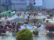 SPS- Paket Korallenableger