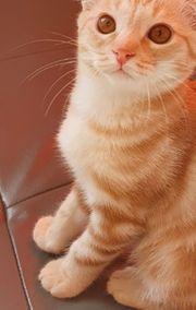 Mischling Babykatzen BKH -Scottish Fold