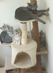 Wunderschöne BKH Kitten in Silver