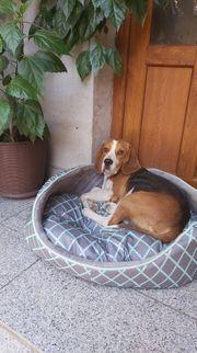 Beagle Fan s aufgepasst