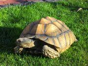 Spornschildkröten Geochelone Sulcata