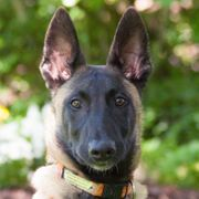 Hercul - Malinois - 5 Monate - Tierhilfe