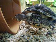 Wasserschildkröte mit oder ohne Zubehör