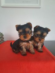 Yorkshire Mini Yorkshire Terrier Babys
