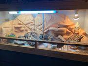 Terrarium mit 2 Leopardengeckos