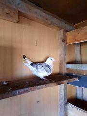 Tauben Usbekische Tauben Hochflieger