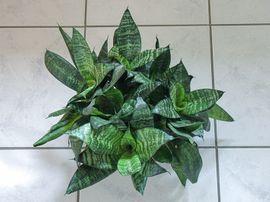 Zimmerpflanze Grünpflanze: Kleinanzeigen aus Lustenau - Rubrik Pflanzen