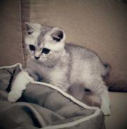 Scottisch Fold Kurzhaar Kitten mit