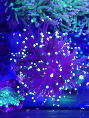 Korallen Meerwasser Euphyllia