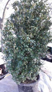 Verkaufe getopften Buchsbaum